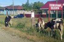 Тридцать три коровы
